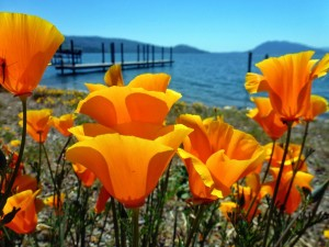Poppies at Clear Lake